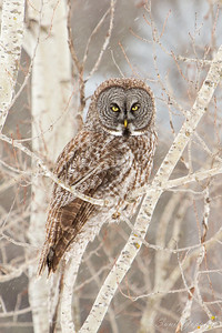 Great Gray Owl - Stare Down