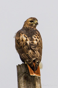 Red-tailed Hawk. UW Arboretum - Madison, WI