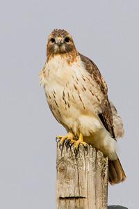 Red-tailed Hawk. UW Arboretum - Madison, WI