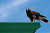 A Harris's hawk perches above the crowd at the Minnesota Zoo bird show.