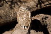 A Burrowing owl gets some sun at the Phoenix Zoo.