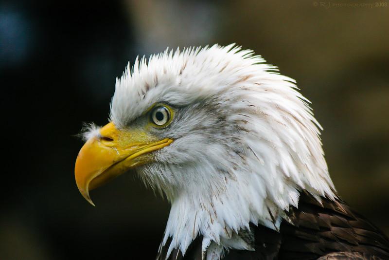 Close-up of a bald eagle at the Minnesota Zoo.