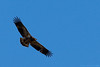 An immature bald eagle soars above the river at Black Dog preserve in Minneapolis.