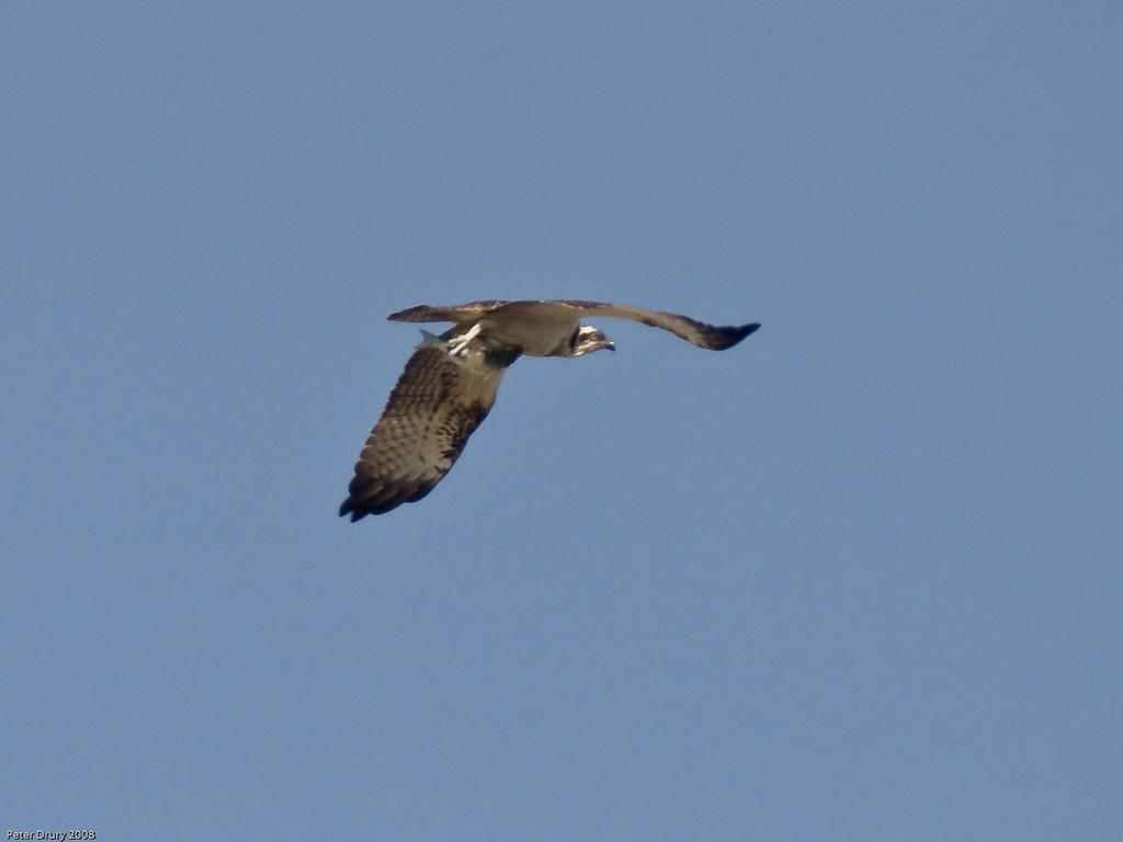 Osprey (Pandion haliaetus). Copyright 2009 Peter Drury<br /> A chance shot. Seen flying high overhead with part of a fish in it's talons.<br /> Southmoor, Langstone Harbour