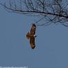 Bald Eagle,Sibley Regional Park
