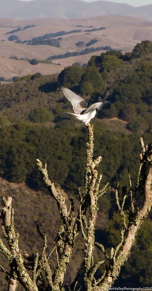 White-tailed Kite-Tilden Regional Park