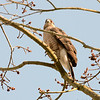 Cooper's Hawk at Lost Valley Home