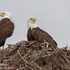Bald Eagles at Nest