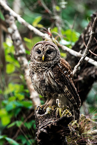 barred owl_3016