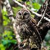 barred owl_3016