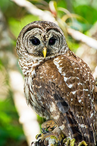 barred owl_3006