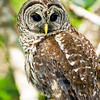 barred owl_3006