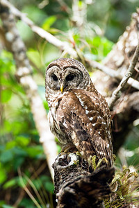 barred owl_2985