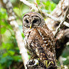barred owl_2985