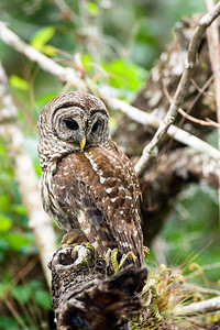barred owl_2986
