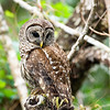 barred owl_2986