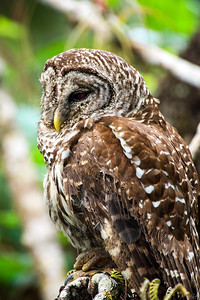 barred owl_2979