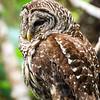 barred owl_2979