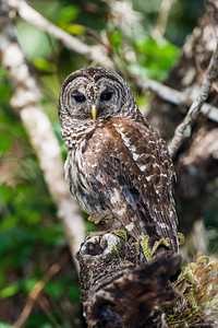 barred owl_2953