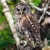 barred owl_2953