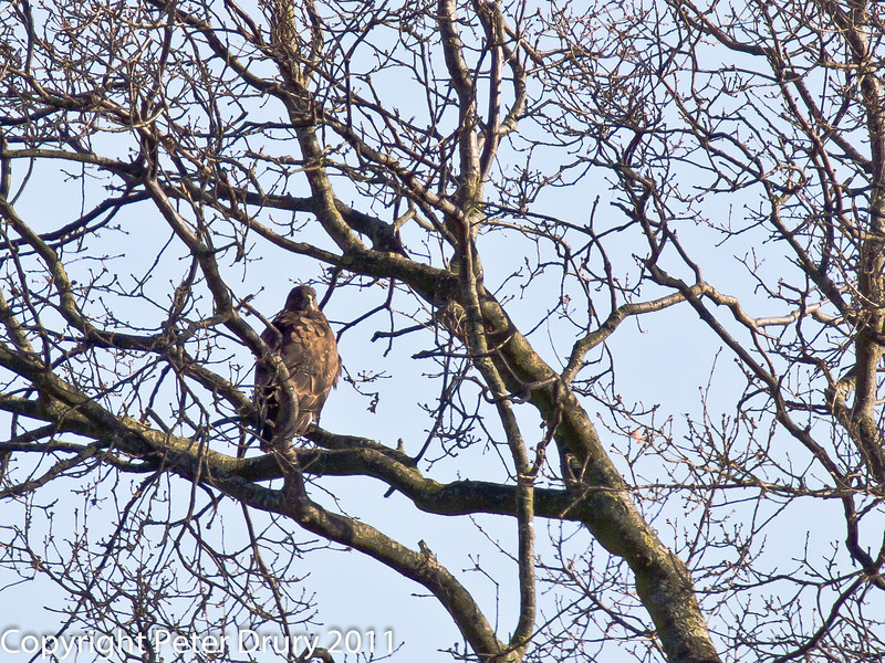 08 February 2011. Buzzard near the Hayling Billy Trail. Copyright Peter Drury 2011