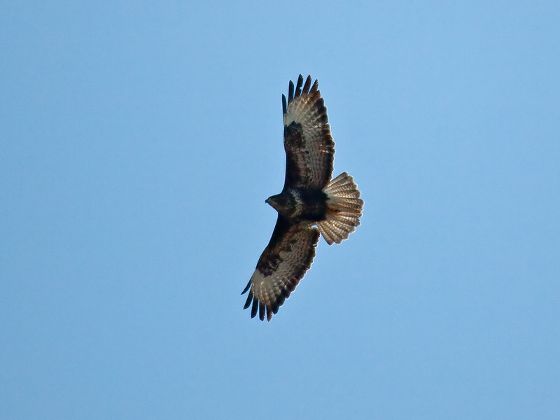 Buzzard (Buteo buteo). Copyright Peter Drury 2010<br /> Almost like setting the alarm on a clock, three of these birds arrive over the seaward side slopes of Portsdown Hill at about 1130 and use the updrafts to climb to about 500ft before flying off to hunt.