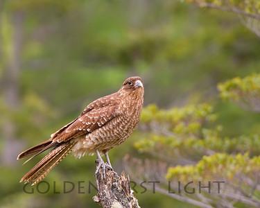 Chimango Caracara, Tierra del Fuego National Park, Argentina