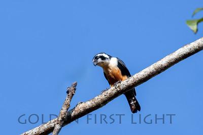 Black-thighed Falconet, Kaeng Krachan National Park Thailand