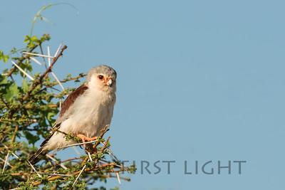 Pygmy Falcon, Kenya