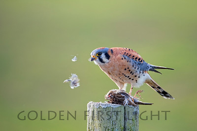 American Kestrel, Point Reyes National Seashore