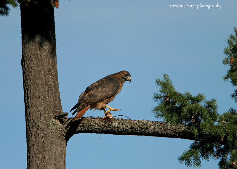 Red-tailed Hawk with Mouse