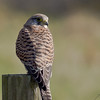 04 March 2011. Kestrel at Southmoor. Copyright Peter Drury 2011
