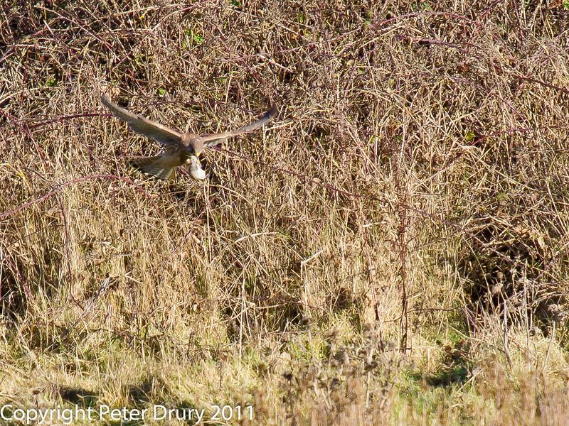 03 February 2011. Kestrel taking off with its prey. Salt marsh. Copyright Peter Drury 2011