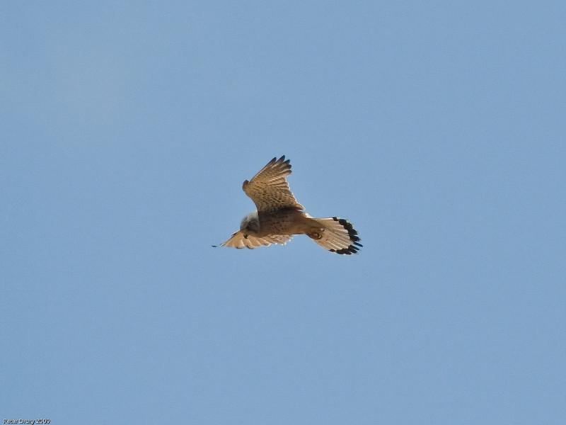 Kestrel (Falco tinnunculus). Copyright 2009 Peter Drury