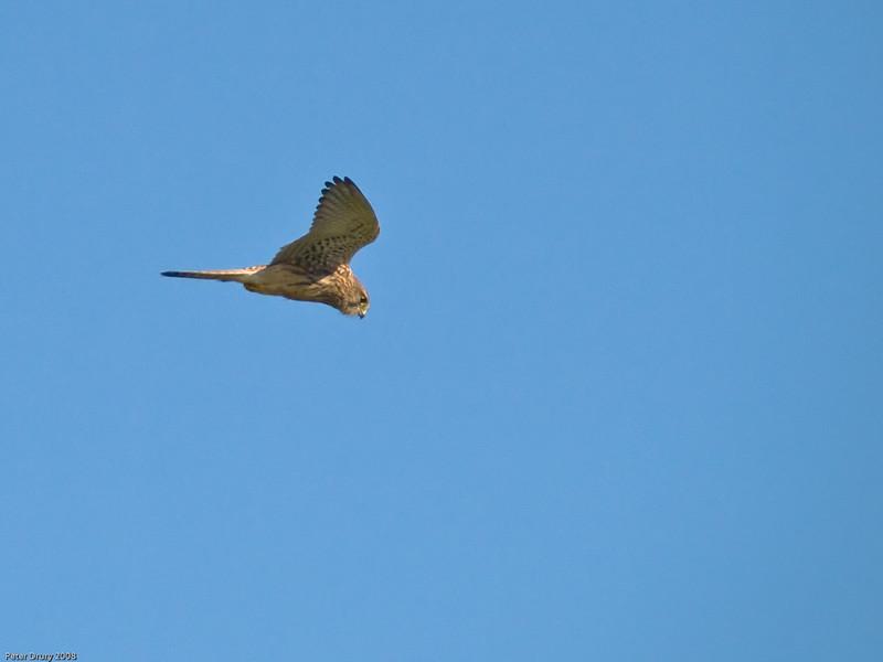 Kestrel (Falco tinnunculus). Copyright 2009 Peter Drury<br /> Southmoor, Hampshire