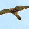 Kestrel (Falco tinnunculus). Copyright Peter Drury 2009