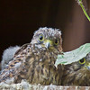 02 Jun 2011. Kestrel chicks. Copyright Peter Drury 2011