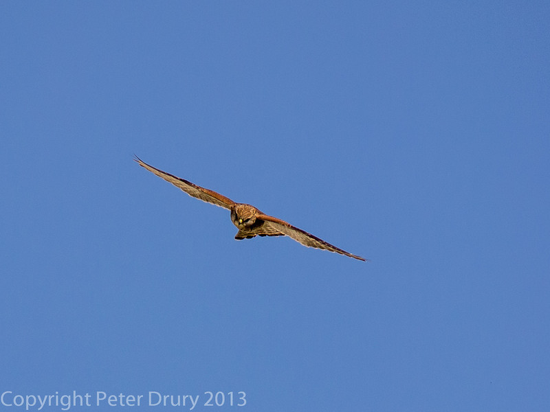 6 April 2013 Kestrel at Portsdown Hill