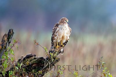 Northern Harrier, Ridgefield National Wildlife Refuge