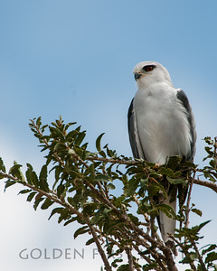 Black-shouldered Kite, Kenya