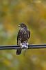Merlin with shorebird victim.