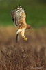 Northern Harrier Hen about to pounce on prey.