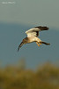 Female Northern Harrier has spotted prey down in the grass..