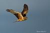 Northern Harrier Hen.