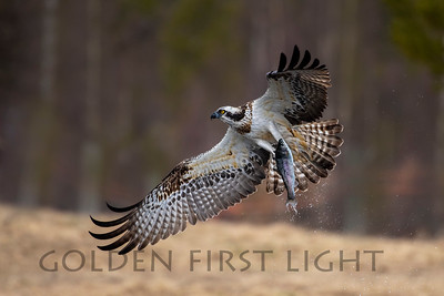 Osprey, Kuusamo Finland
