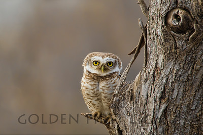 Spotted Owlet, India