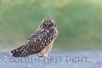 Short-eared Owl, Malheur National Wildlife Refuge