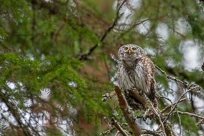 Eurasian Pygmy-Owl, Finland