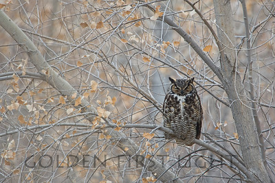 Great Horned Owl, Bosque del Apache National Wildlife Refuge