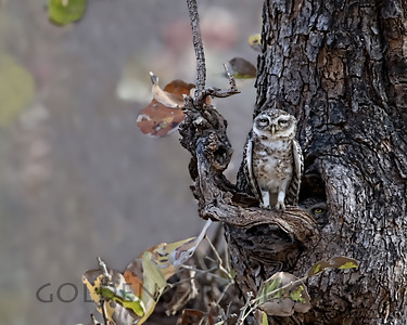 Spotted Owlets, Ranthambhore National Park, India